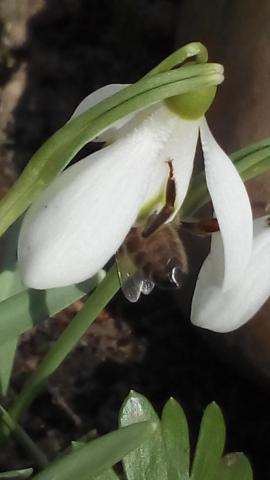 Sněženka láká včely