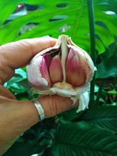 Česnek v přírodní zahradě