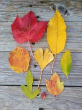 Listy. Proč žloutne a opadává listí, loubinec, třešeň, líska, jinan, komule, ibišek, skalník,tavola.