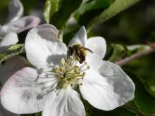Včela na květu jabloně